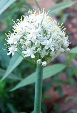 Plantas sanjuaniegas: Cebolla.