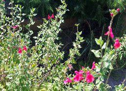 Plantas sanjuaniegas: Salvia.
