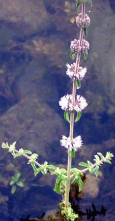 Plantas sanjuaniegas: Poleo.