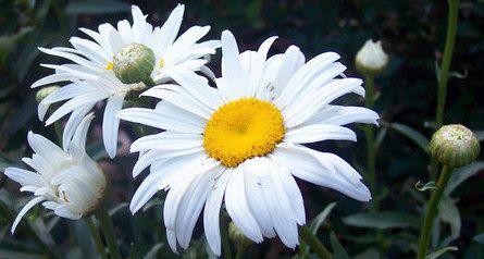Plantas sanjuaniegas: Margarita.