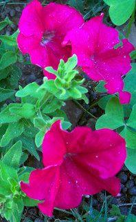 Plantas sanjuaniegas: Petunia.