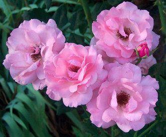 Plantas sanjuaniegas: Rosas.