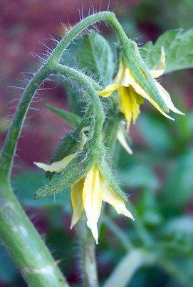 Plantas sanjuaniegas: Tomatera.